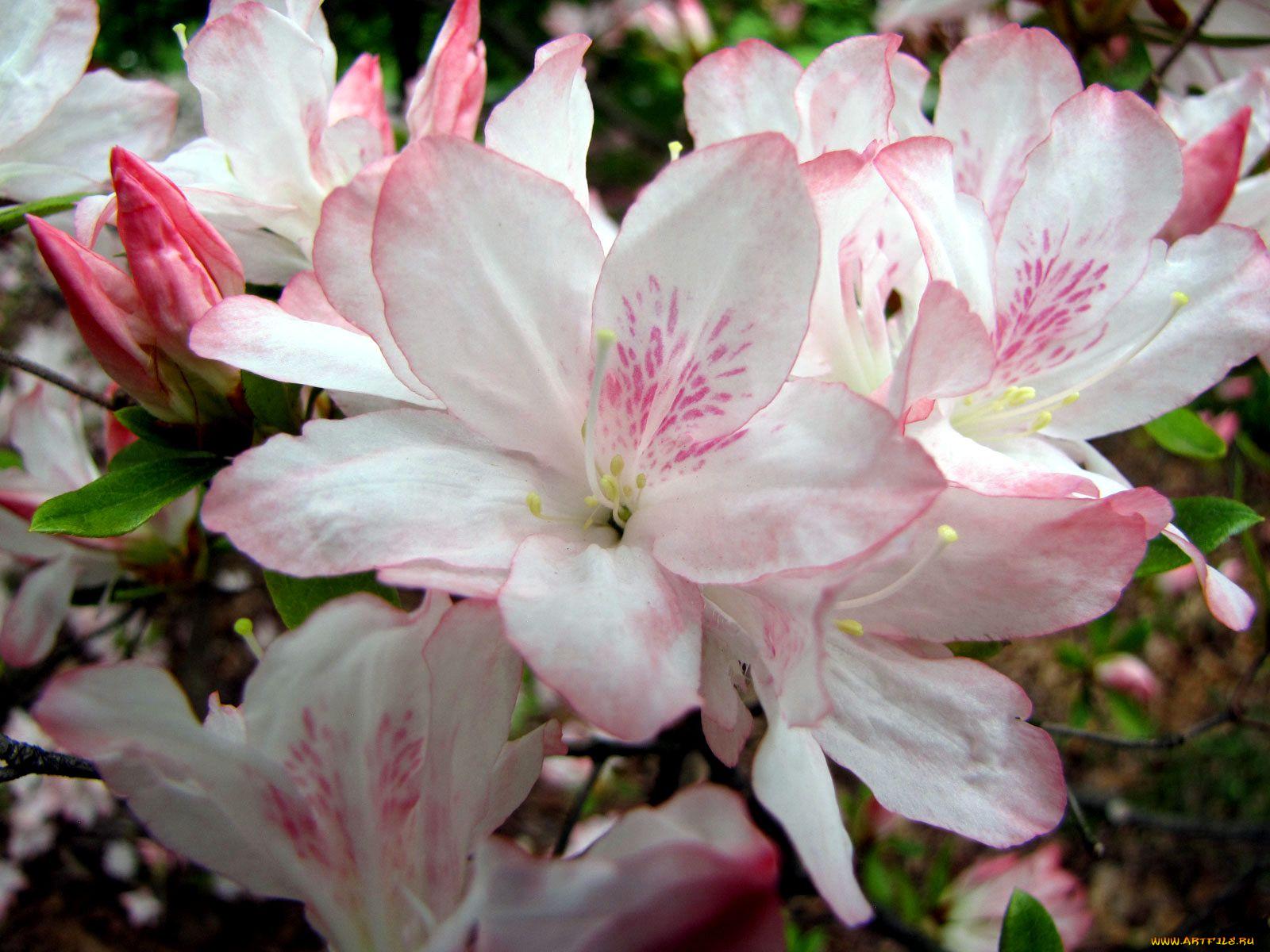 глянцевыми картинки азалии цветка уточнение представлений